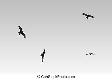 proie, isolé, oiseau, cerf volant, rouges