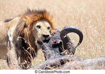 proie, lion, sien, mâle, &