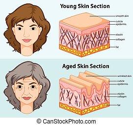 projection, jeune, diagramme, peau humaine, vieilli