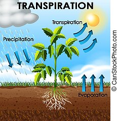 projection, transpiration, plante, diagramme