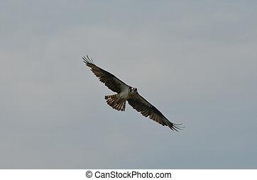 prolongé, osprey, ailes