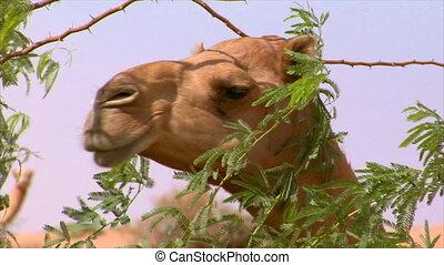 promenade, chameau, montre
