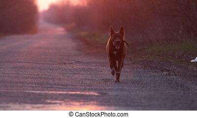 promenade chien, ralenti, coucher soleil, courses