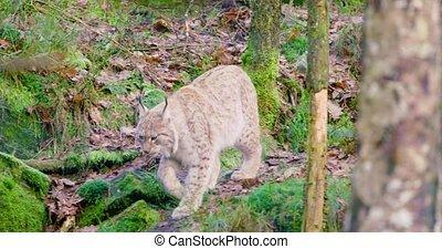 promenades, une, bois, petit, lynx, européen