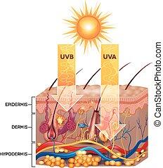 promieniowanie, uva, przenikać, skóra, anatomy., uvb, szczegółowy, skin.