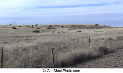 Pronghorn Antelope - a small herd of pronghorn antelope on...