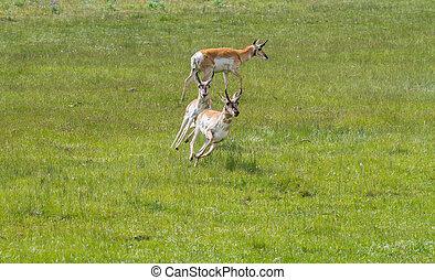pronghorn antelope chasing and running