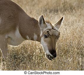 Pronghorn Antelope Grazing Eating Grass National Bison Range Charlo Montana Antilocapridae