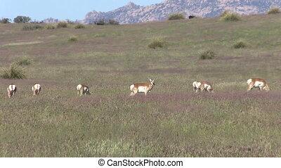 Pronghorn Antelope Herd Grazing