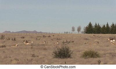 Pronghorn Antelope Herd