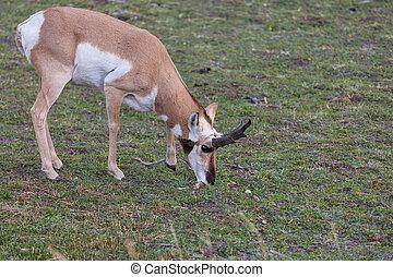 Pronghorn Antelope in american prairie,  USA