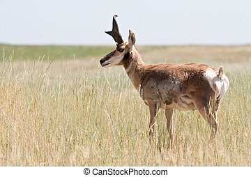 pronghorn antelope in natural environment, wyoming