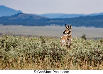 Pronghorn antelope in Grand Tetons National Park, Wyoming.