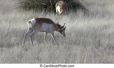 Pronghorn Antelope - a pronghorn antelope grazing on the...