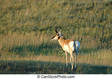 A male pronghorn pauses in the high plains of South Dakota.