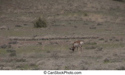 Pronghorn Buck - a pronghorn antelope buck on the prairie