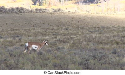 Pronghorn Buck - a young pronghorn antelope buck on the...