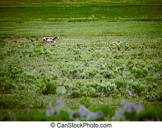 Pronghorn chasing a coyote at Yellowstone National Park.