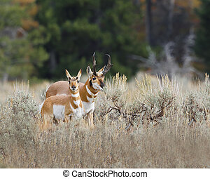 Pronghorn doe has spotted the photographer Grand Teton...