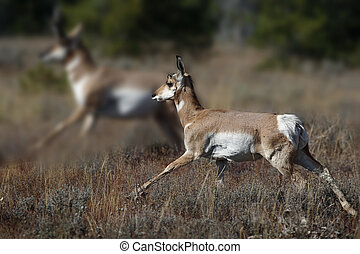 Pronghorn doe keeping up with buck Grand Teton National...