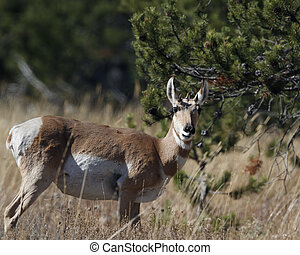 Pronghorn gazing at camera Grand Teton National Park,...