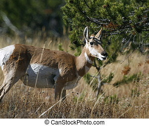 Pronghorn head turned mouth open Grand Teton National Park,...