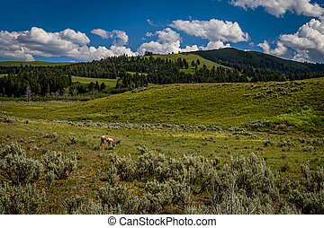 A solitary pronghorn grazes in summer grassland at Yellowstone National Park in Wyoming.
