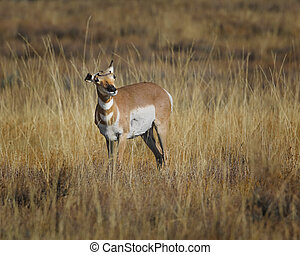 Pronghorn still having ear problems Grand Teton National...