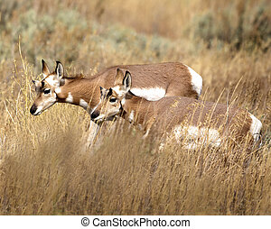 Pronghorn two in the tall grass Grand Teton National Park,...