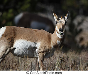 Pronghorn with a mouthful of green gazing at camera
