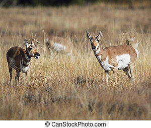 Pronghorns having a talk Grand Teton National Park, Wyoming,...