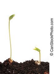 pronkboon, twee, seedlings