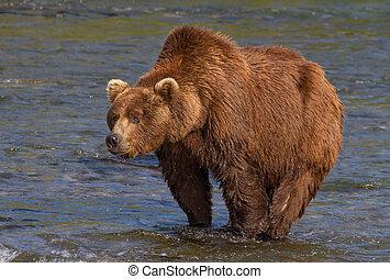 pronounced, joroba, oso, grande, marrón