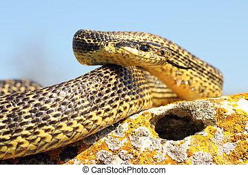 pronto, attacco, blotched, serpente
