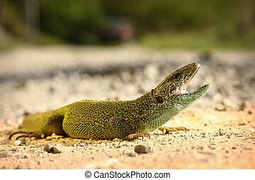 pronto, attacco, maschio, lucertola verde