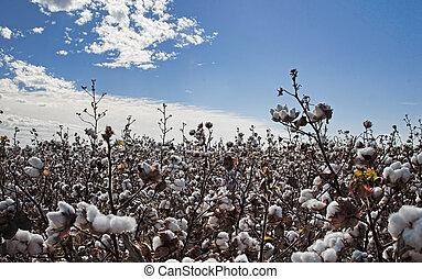 pronto, campo, colheita, algodão