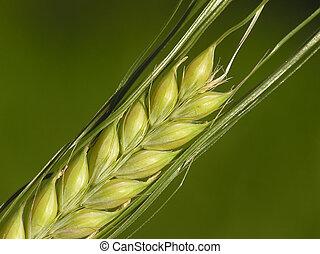 pronto, milho, colheita