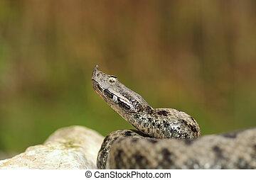pronto, pericoloso, attacco, serpente