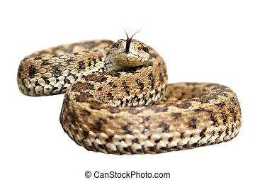pronto, velenoso, attacco, isolato, serpente