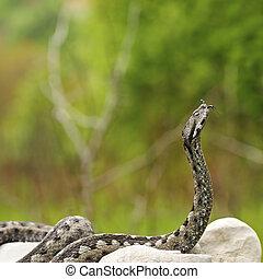 pronto, velenoso, attacco, serpente, europeo