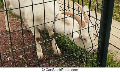 prospekt, od, biała koza, w, ptaszarnia, za, przedimek określony przed rzeczownikami, zielony, fence., zoo., animals., letni dzień