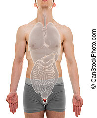 Prostate Male - Internal Organs Anatomy - 3D illustration