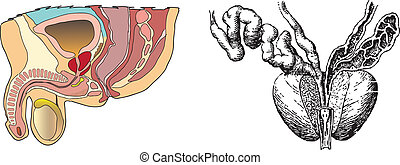 Prostatitis is an illustration - Visual aids for prostate...