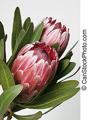 Protea - Also known as bearded sugarbushes. The flower is...