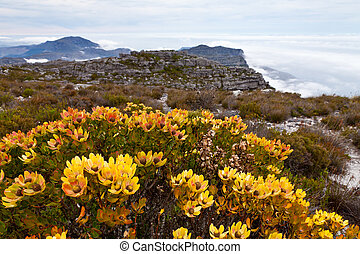 Protea flowers growing on the rocks