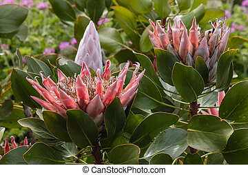 Protea neriifolia flowers and bud