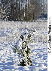 Protected with fir branches young apple tree in winter