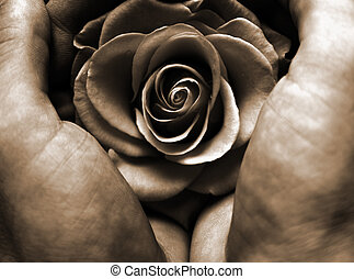 Protecting Sepia - Hands holding a rose, sepia