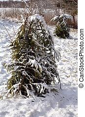 protegido, com, abeto, ramos, jovem, maçã, árvores, linha, em, inverno