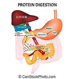 Protein digestion. Protein metabolism. Digestion in the ...